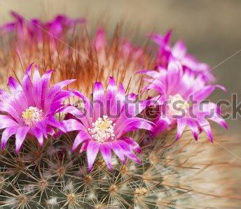 mari_cactus_pinkflower